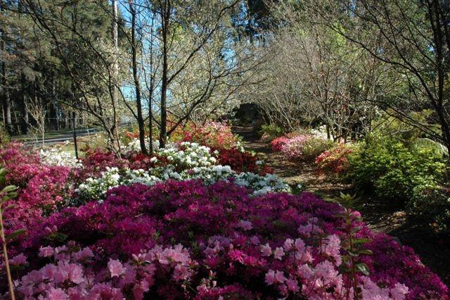 Azaleas, October