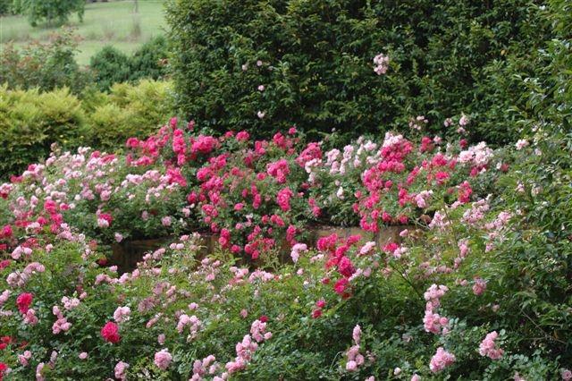 Flower carpet roses, November