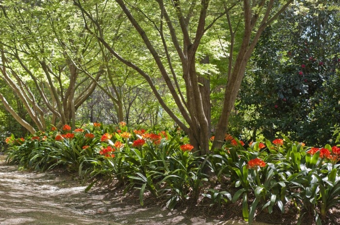Clivia flowering under maples, October