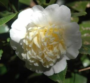 Camellias at Wildwood (A-K) | Imagery | Wildwood Garden
